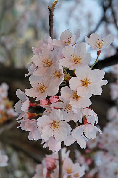 Sakura of Fukushima